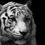 Apa Hubungannya Macan Putih Lodaya dan Siliwangi