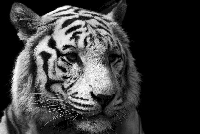 Khodam Macan Putih Lodaya